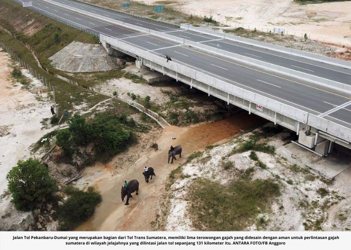 Jalan tol Pekanbaru - Dumai Ada Terowongan Khusus Gajah!