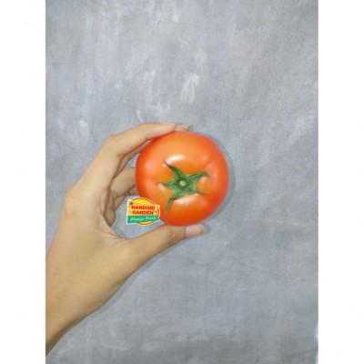 tomat-beef-hydroponik